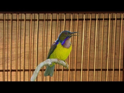 Suara Kicau Burung Sogok Ontong Gacor Panjang
