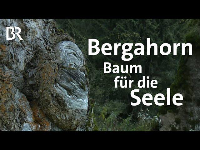 Der Bergahorn: Stummer Zeuge der Zeit  | Bergauf-Bergab | Doku | BR