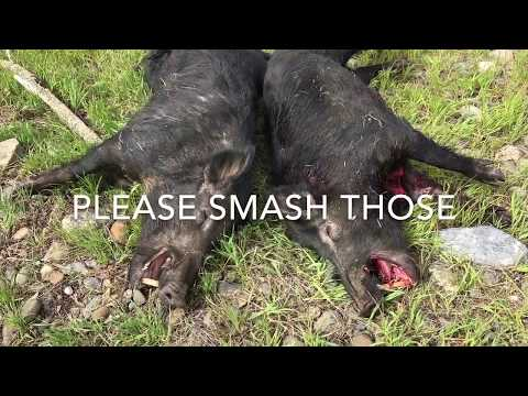 Pig Hunting - CA Wild Boars- Public Land Hogs