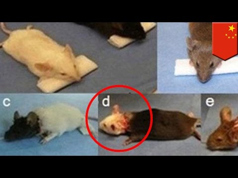 Head transplants on 1000 mice performed by Chinese doctor - TomoNews