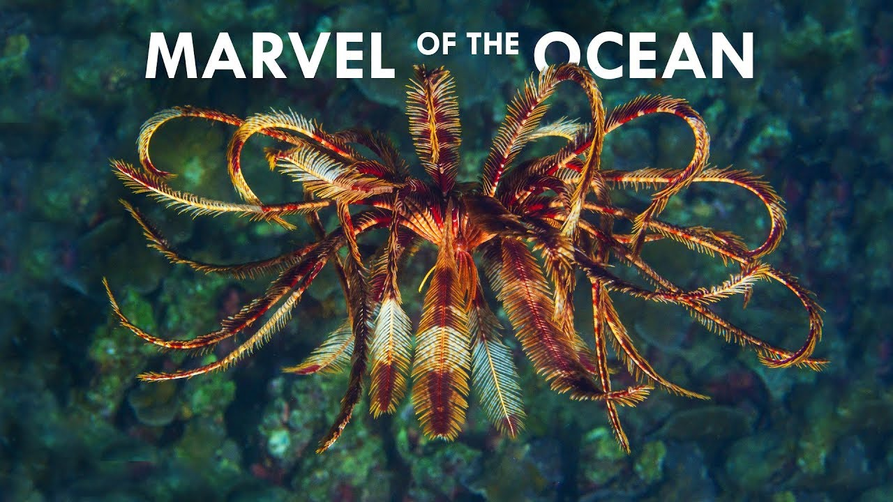 feather-stars-are-the-most-mesmerizing-creatures-in-the-ocean