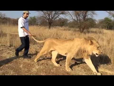 Walking with Lions in Polokwane