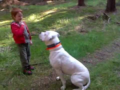 dogo-argentino---obedience-training-with-children:)