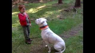 Dogo Argentino - Obedience Training With Children:)