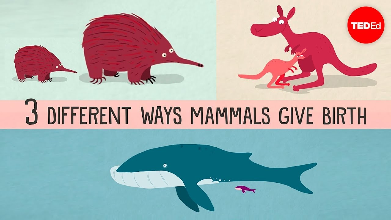 The three different ways mammals give birth - Kate Slabosky - YouTube