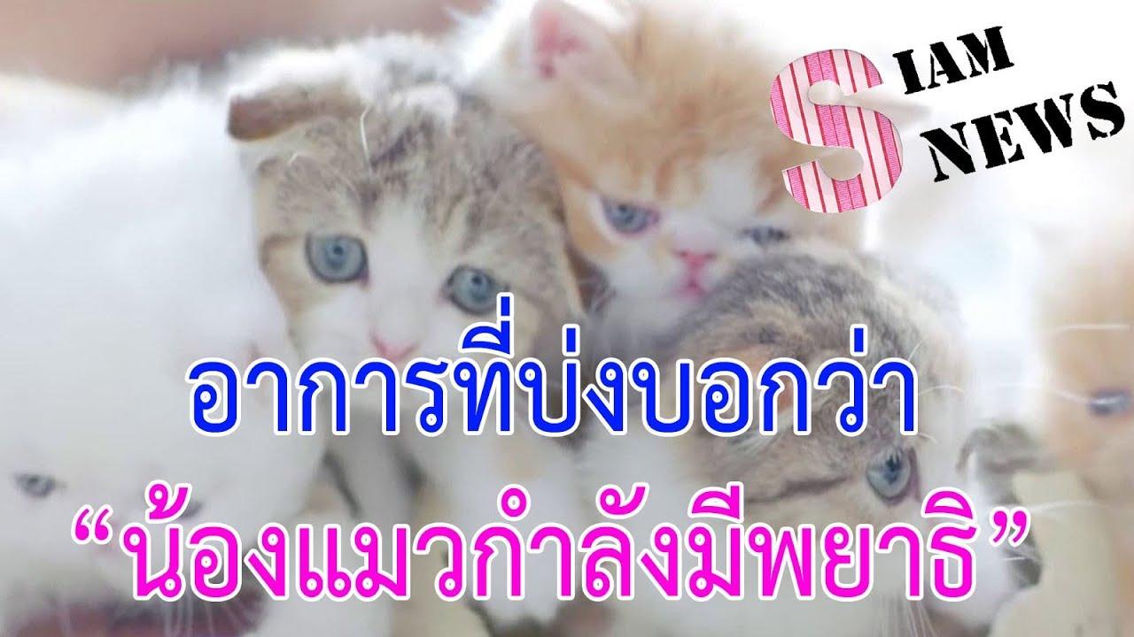 อาการที่บ่งบอกว่าน้องแมวกำลังมีพยาธิ   Siam News