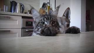 Мейн-кун на кухне, расслабленный кот (видео с озвучкой)