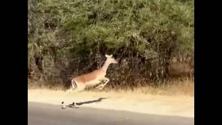 Running deer Crossing The Road Amazing View From Africa