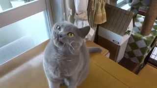 糸が大好きなジャスミン(猫)。 裁縫を始めようとすると飛んで来ます。...