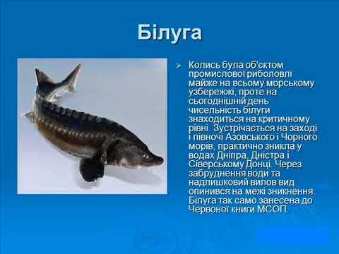 Види Риб,що занесані до червоної книги України...