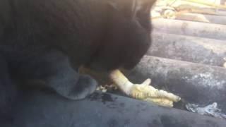 Кот кушает вкусные лапки куриные