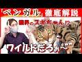 【ベンガルの魅力編#4】現役猫ブリーダーがベンガルの性格や特徴を詳しくご紹介!この種類の性格は唯一無二!?ベンガル好きがハマる理由が分かります!