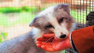 El Sorprendente Experimento de los Zorros Plateados- El Origen de los Perros