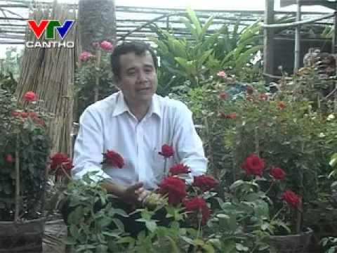 Kỹ thuật trồng hoa hồng .flv