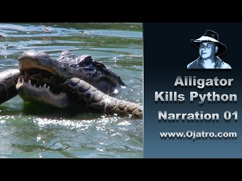 Alligator Attacks Python 01 Narration