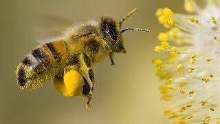 Самый крупный план,на шиповнике.Пчела собирает пыльцу. Оса. Насекомые. Цветы.Природа. Шмель.