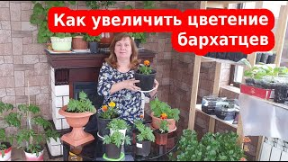 Бархатцы - как увеличить цветение! Прищипка бархатцев на рассаду