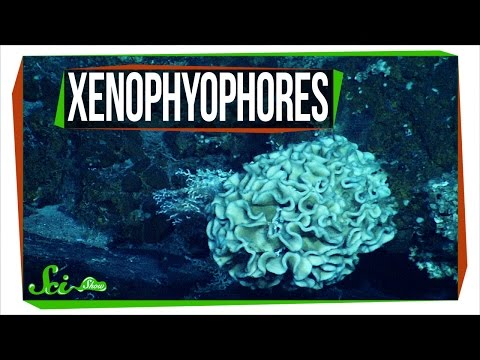 Xenophyophores: The Strange Life of a Giant Single Cell