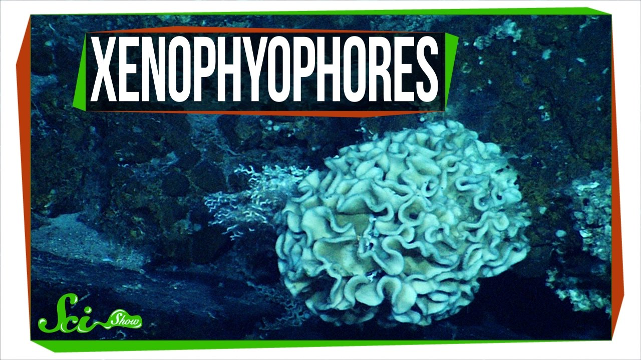One Celled Organism >> Xenophyophores: The Strange Life of a Giant Single Cell ...