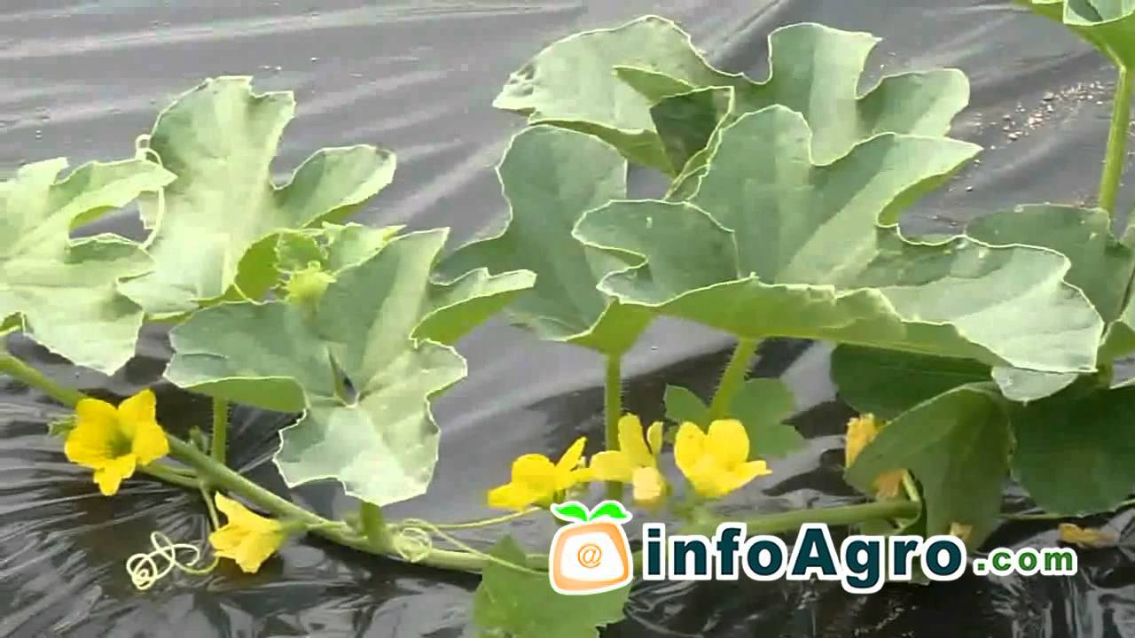 Melon growing how to plant grow and harvest 12 youtube how to plant grow and harvest 12 youtube nvjuhfo Choice Image