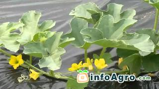 Melon Growing. How to plant, grow and harvest - 1/2