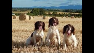 English Springer Spaniel Drakes First Real Hunt.