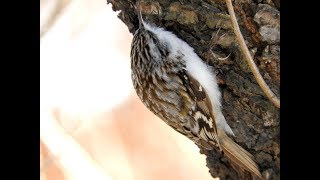 Птица Пищуха добывает корм зимой, treecreeper in winter
