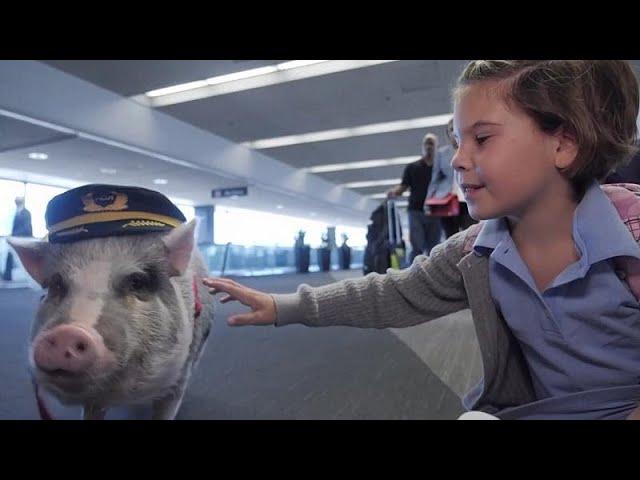 Свинотерапия как средство от аэрофобии