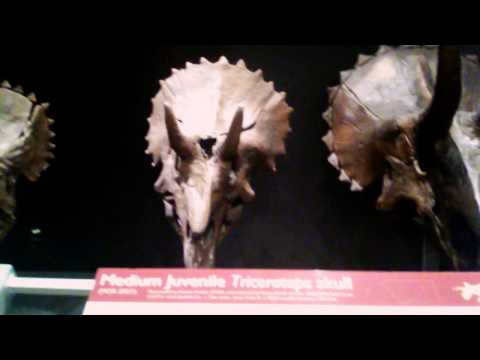 Triceratops Skulls-Museum of the Rockies