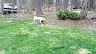 Funny Dog vs Rooster  Lab and Rooster go at it