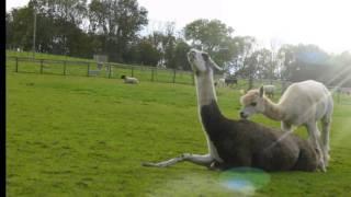 śmieszny filmik z lamami