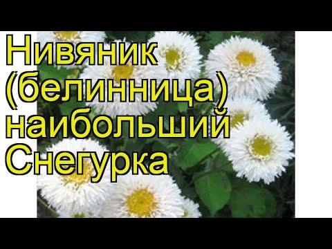 Нивяник наибольший Снегурка. Краткий обзор, описание характеристик, где купить саженцы Snehurka