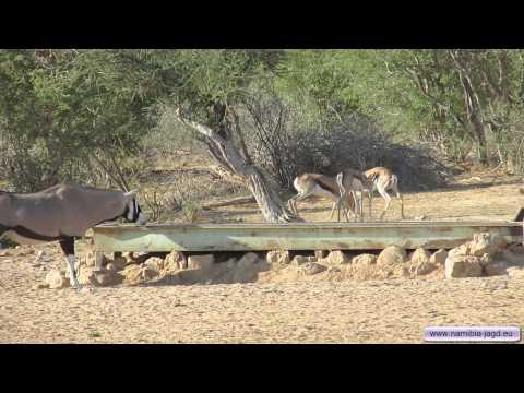Namibia Jagdreise - Jagen - Safari - Springbockkampf