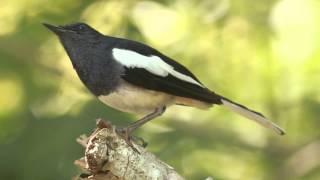 Oriental magpie-robin 2#