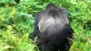 Gorilla Mating in the Wild
