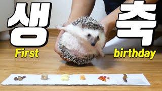 고슴도치 첫 번째 생일 특별하게 축하해주기! : 고슴도…