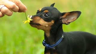 Пражский крысарик. Маленькая собака. Самая умная собака.