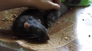 Ласковые крысы гладятся