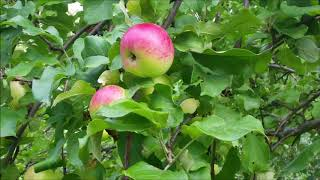 Груши, яблоки, перчик, слива🍅🍐🍎! Рецепт помидор дольками на зиму 😍