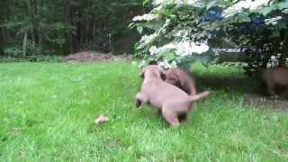 chesapeake bay retriever vigorous puppie play at 7 weeks chesamo 2013