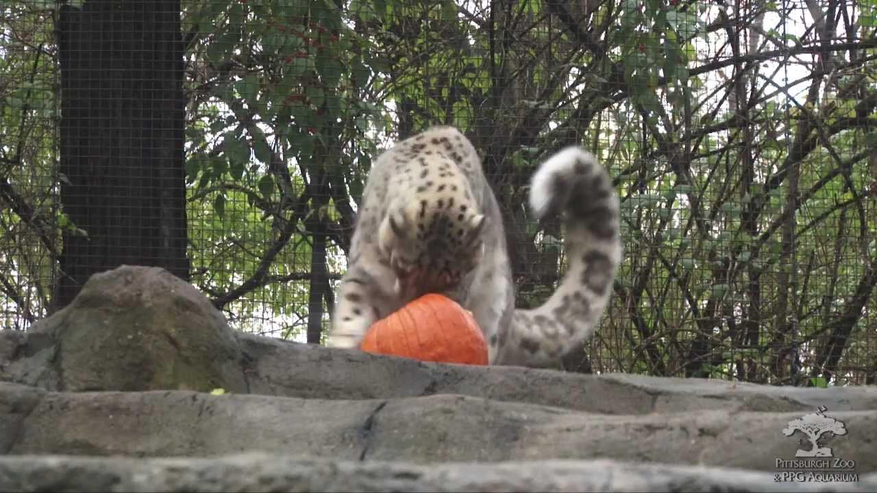 The Pittsburgh Zoo & PPG Aquarium: Big Cats - YouTube