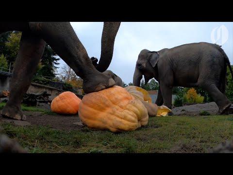 Oregon-Zoo-elephants-smash-giant-pumpkins-in-annual-Squishing-of-the-Squash