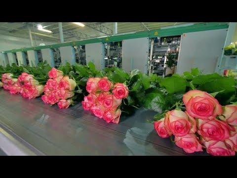 Automatic Flower Processing Machine - Amazing Modern Flower Processing Factory | Flower Harvesting