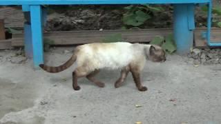 Сиамский кот характеристика породы
