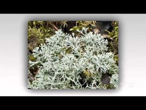 Cladonia mitis - fungi kingdom