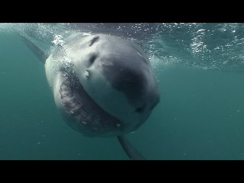 Charles Maxwell Filmed White Shark Attack By Earth Touch