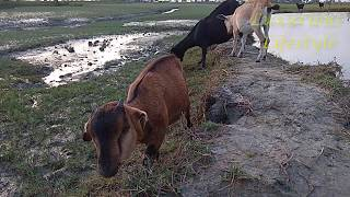 A Baby Goat Eating Grass In River Side || A Baby Goat Lifestyle ||