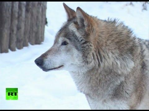 Волки атакуют Якутию