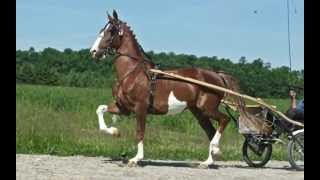 *SOLD* Dutch Harness Horse Mare by Solist