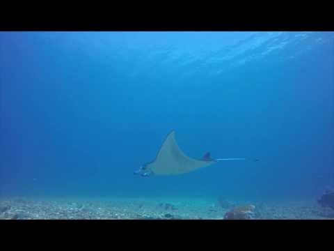 manta-ray-@-manta-point- -diving-komodo-national-park---indonesia